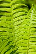 Bright green leaves of a fern as background Stock Photos
