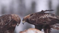 Golden eagle two adult close up view Stock Footage