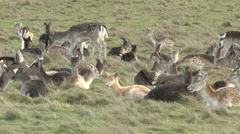Male and female fallow deer in Richmond Park, London, UK. Stock Footage