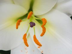 Petals, stigma and anthers of a white lily Stock Photos