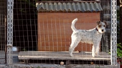 Barking fox terrier dog in a cage Stock Footage