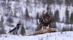Stock Video Footage of Golden Eagle fly away in beautiful winter scenery