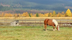 Beautiful brown horse with white hair grazing at morning Stock Footage