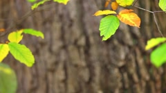 Autumn leaf background - stock footage