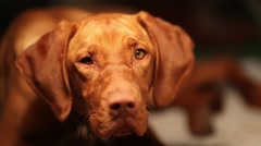 Tired hungarian vizsla dog at midnight Stock Footage