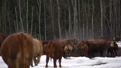 cattle moving, making their way to feed, forest and snow, #1 - stock footage