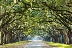 Country road lined with oaks Stock Photos