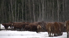 cattle moving, making their way to feed, forest and snow, #2 - stock footage