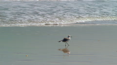 Shore birds play in early morning surf. Stock Footage