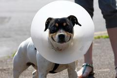 small dog wearing a cone - stock photo