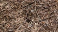 Ants in the big anthill HD Footage