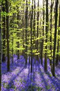 stunning bluebell flowers in spring forest landscape - stock photo
