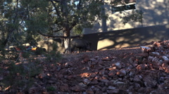Sedona Arizona Peccary Javelina pig in home yard HD 022 Stock Footage