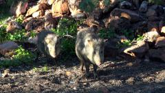 Sedona Arizona Peccary Javelina pig standing wild HD 023 Stock Footage