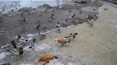 Ducks in Mezhyhirya Stock Footage