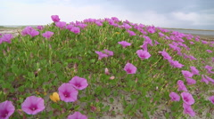 Wildflowers at the coast at Rameswaram in Tamil Nadu, India Stock Footage