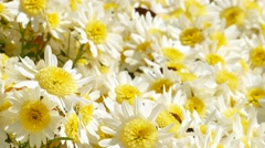 Beautiful flowers of chrysanthemums Stock Footage