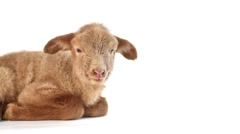 Baby lamb isolated on white background Stock Footage