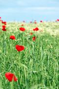 Red poppy flowers and green wheat spring season Stock Photos