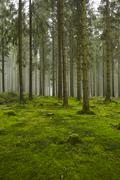 forest with moss - stock photo