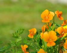 pretty orange viola - stock photo
