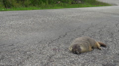 Roadkill marmot and passing car Stock Footage