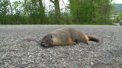 Roadkill marmot and passing pick up truck Stock Footage