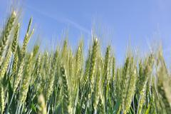 closeup on barley spike - stock photo