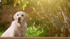 Waiting senior labrador dog in the garden Stock Footage