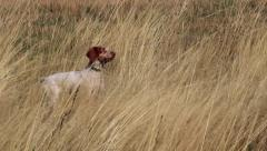 Hunting Dog Running Stock Footage