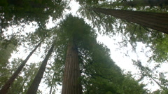 Redwood grove looking up 3 in california 2014 Stock Footage