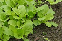 Close up of green vegetables in the field Stock Photos
