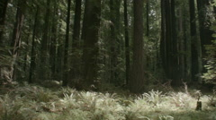 Redwood grove in california 2014 2 Stock Footage