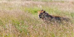 Young lioness on savanna grass background - stock photo