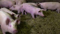 Happy Pigs in pig farming Stock Footage