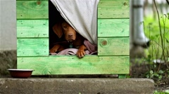 Hungarian vizsla wainting the rain to stop in small dog house Stock Footage