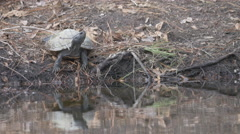 Basking Turtle Returns to the Water Stock Footage