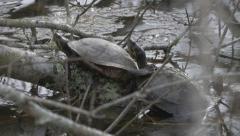 Two Turtles Basking Stock Footage