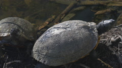 Aquatic Turtles Basking/Swimming Stock Footage