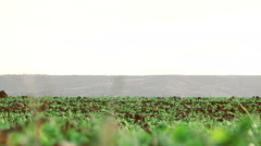 Cultivated field with small plants growing Stock Footage