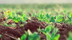 little plants growing: field, nature, agriculture, green, nutrition, ecology  - stock footage