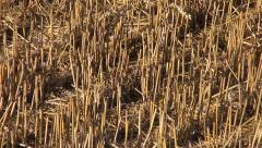 Summer end wheat straw stubble after harvesting on farm field Stock Footage