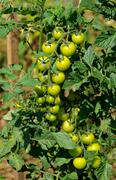 Bush tomatoes Stock Photos