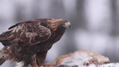 Golden Eagle on bait struggle in strong wind cold ice winter scenery - stock footage