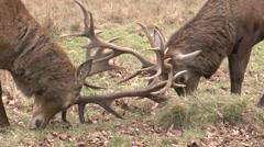 Two male (stag) red deer lock antlers in Bushy Park, London, UK. Stock Footage