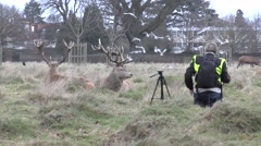 Photographer taking close up photos of stag red deer, Bushy Park, London, UK. Stock Footage