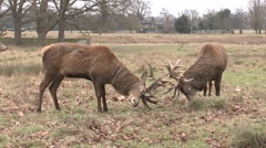 Two male stag red deer locking antlers in Bushy Park, London, UK. Stock Footage