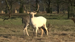 Stock Video Footage of An albino male stag red deer in Bushy Park, London, UK.