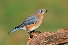 female eastern bluebird - stock photo