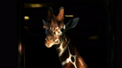 Giraffe in shadow and light, 4K Stock Footage